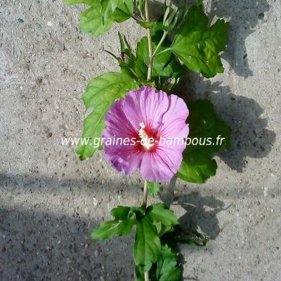 Hibiscus bleu - mauve réf.54