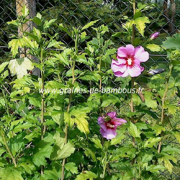 hibiscus-bleu-mauve-hibiscus-syriacus-www-graines-de-bambous-fr-2.jpg