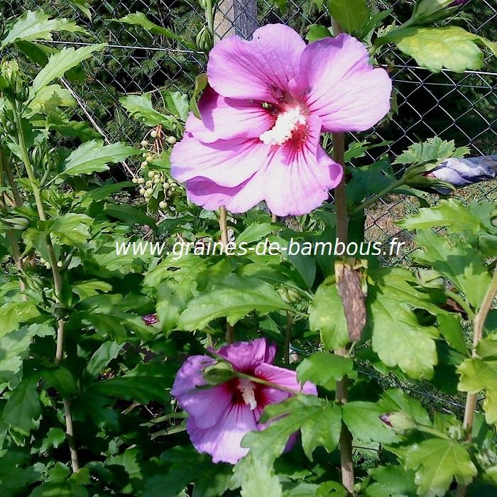 hibiscus-bleu-mauve-hibiscus-syriacus-www-graines-de-bambous-fr-3.jpg