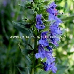Hysope officinale graines condimentaire aromatique