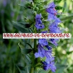Hysope officinale 2500 graines
