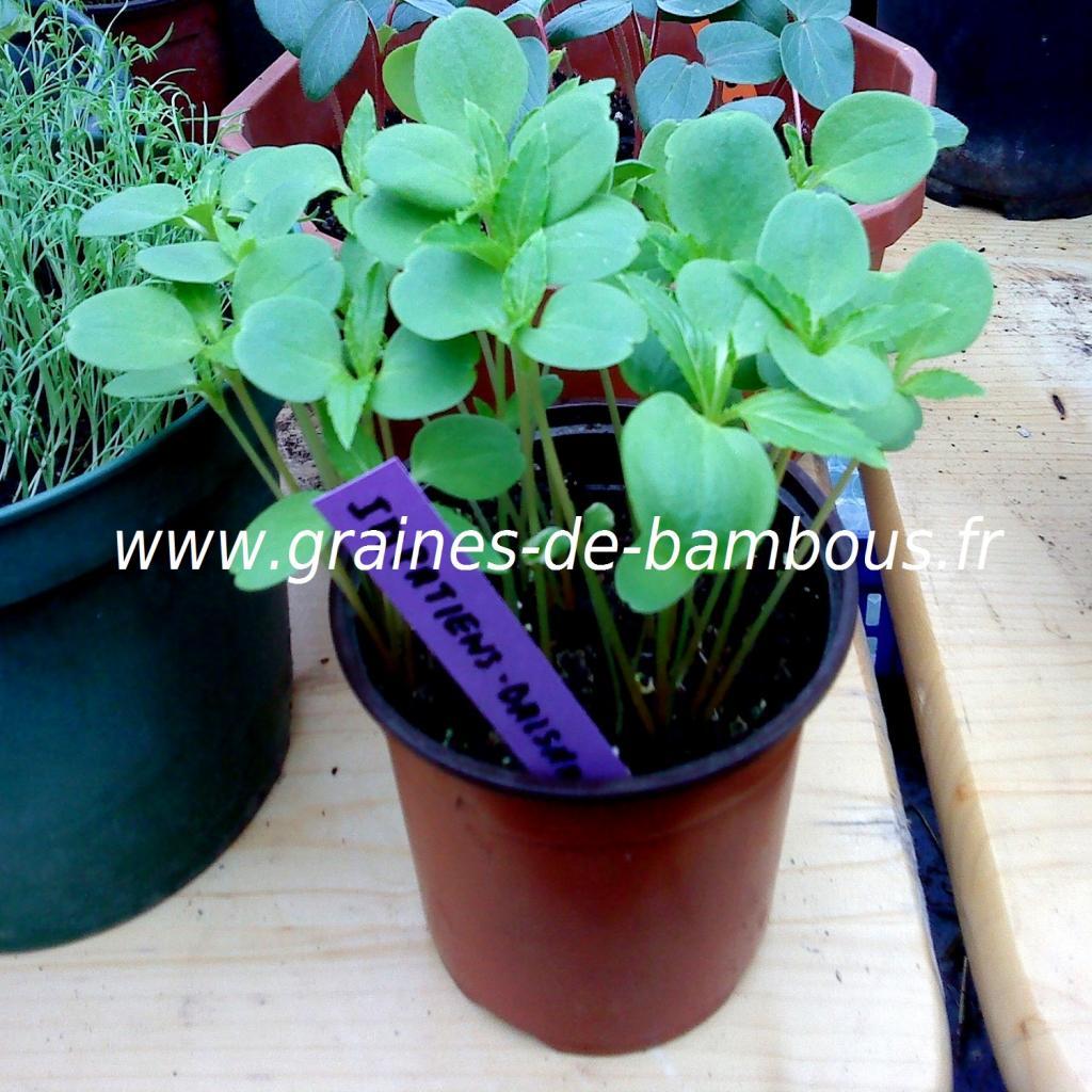 impatiens-balsamine-des-jardins-semis-www-graines-de-bambous-fr.jpg