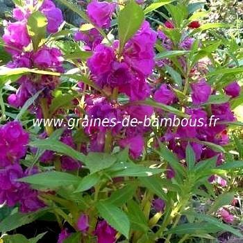 Mix de Balsamine ou Impatiens des jardins réf.419