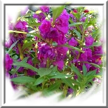 impatiens-ou-balsamine-des-jardins-www-graines-de-bambous-fr-www-grainesdebambous-com.jpg
