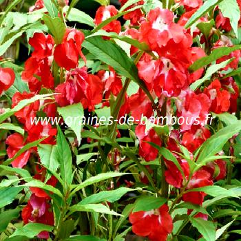 impatiens-ou-balsamine-des-jardins-www-graines-de-bambous-fr.jpg