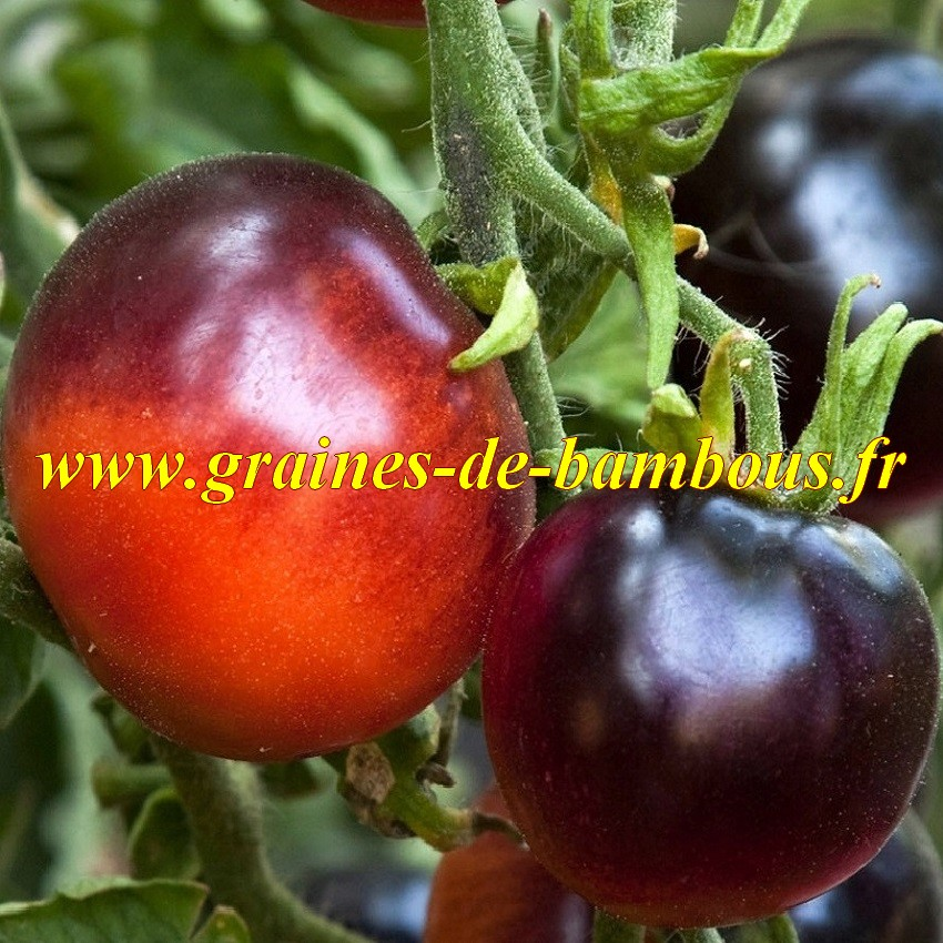 Indigo rose graines tomato seeds