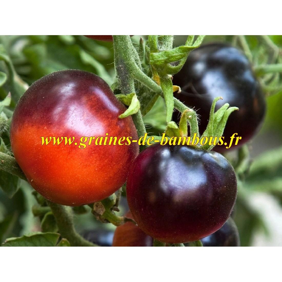 Indigo rose tomato seeds graines de bambous fr