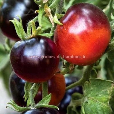 Tomate Indigo rose réf.61
