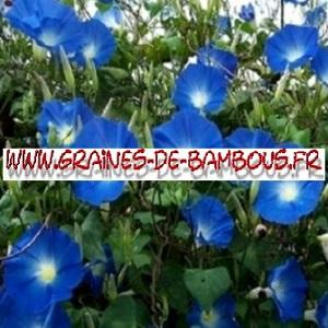 Ipomée tricolor Heavenly blue 1000 graines