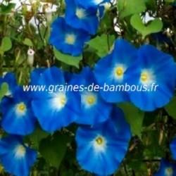 Ipomee bleue graines de bambous fr