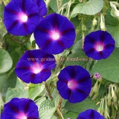 Ipomée purpurea Grandpa ott réf.482
