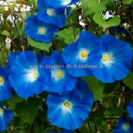 Ipomée tricolor Heavenly blue réf.462