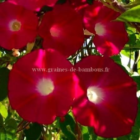 Ipomée tricolor Scarlet O'Hara réf.710