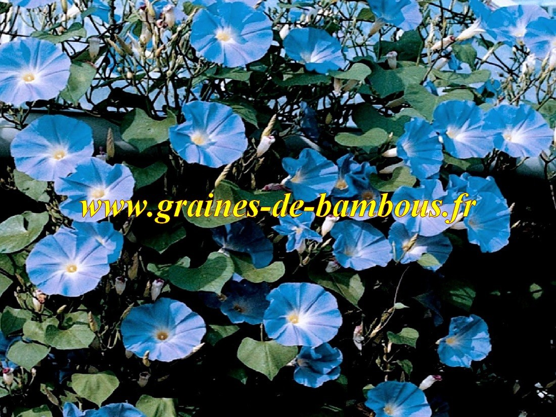 Ipomee tricolor heavenly blue