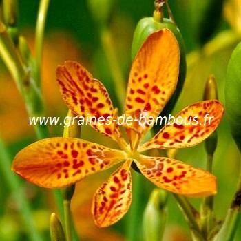 Iris leopard belamcanda chinensis