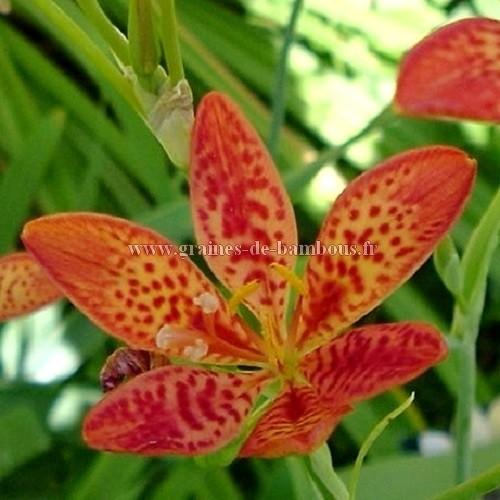 Iris tigre