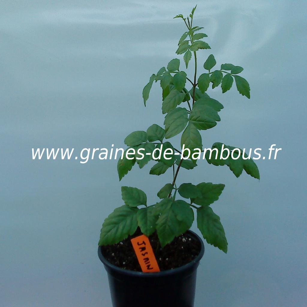 jasmin-de-virginie-campsis-radicans-plant-www-graines-de-bambous-fr.jpg