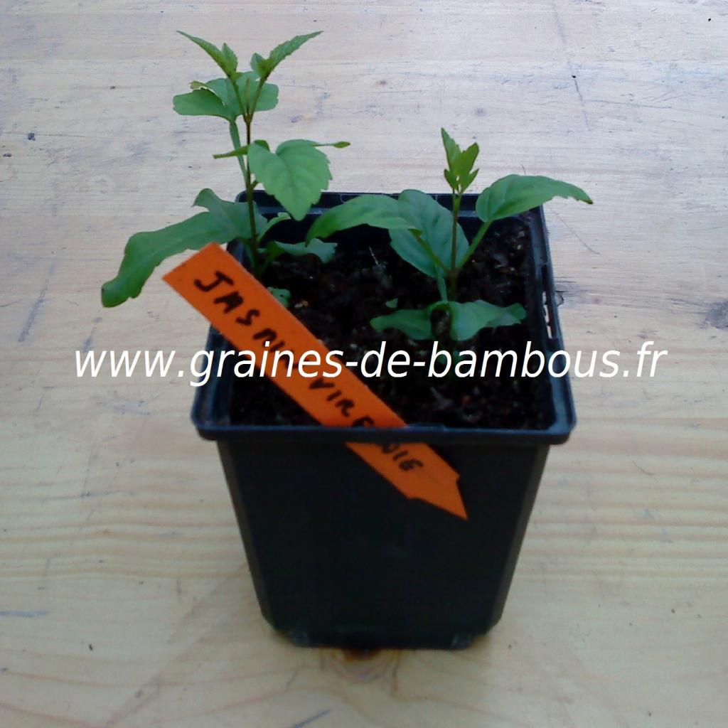 jasmin-de-virginie-semis-www-graines-de-bambous-fr.jpg