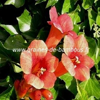jasmin-de-virginie-www-graines-de-bambous-fr-1.jpg