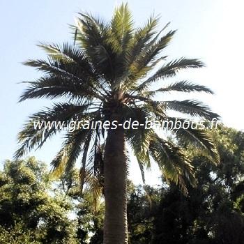 Jubaea chilensis cocotier du chili graines de palmier