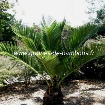 Graines palmier jubaea chilensis cocotier du chili - Palmier cocotier ...