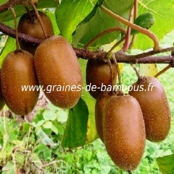 kiwi-actinidia-chinensis-www-graines-de-bambous-fr-1.jpg