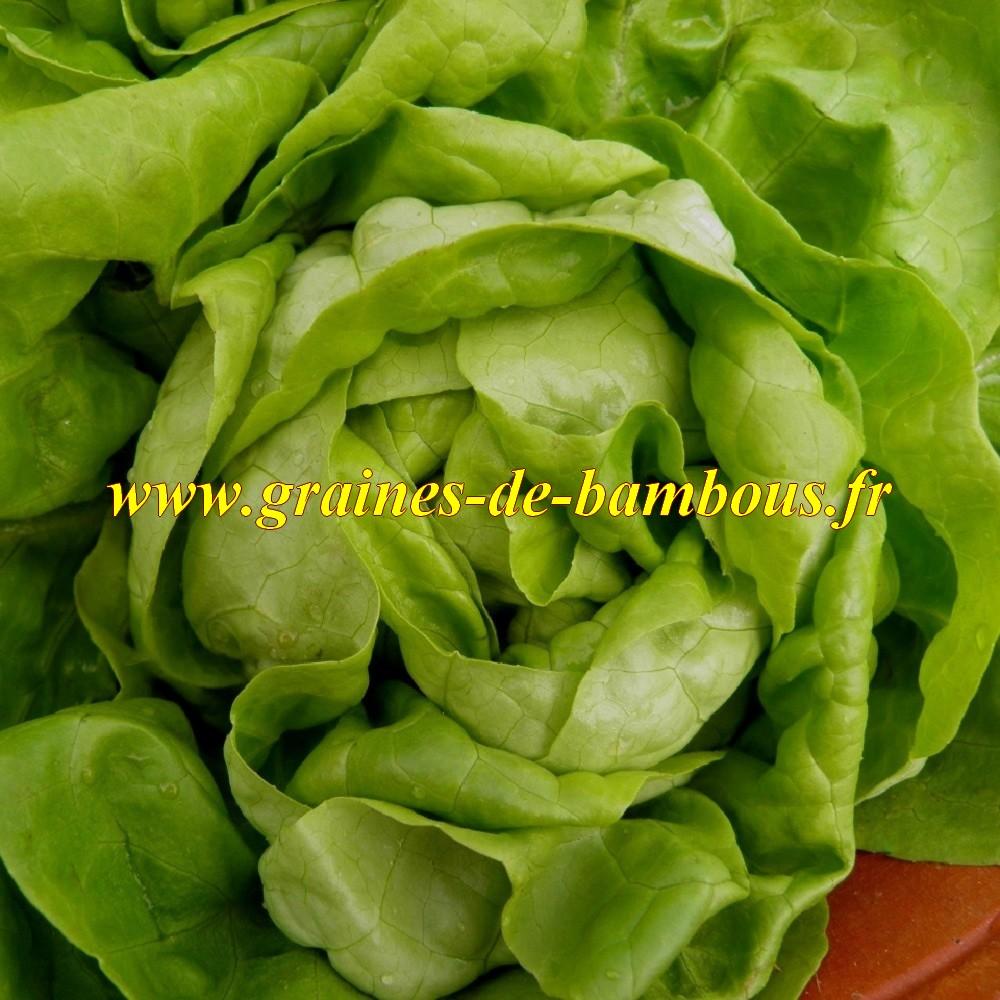 Laitue reine de mai graines de salade