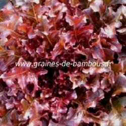 Laitue feuille de chene rouge lactuca seeds www graines de bambous fr
