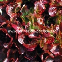 Laitue feuille de chene rouge www graines de bambous fr