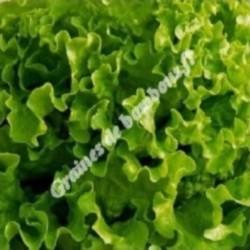 Laitue feuille de chene verte graines de bambous fr
