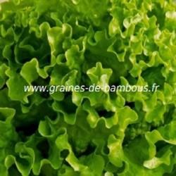 Laitue feuille de chene verte www graines de bambous fr