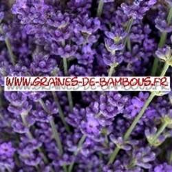 Lavande vraie fleurs semis graines de bambous fr