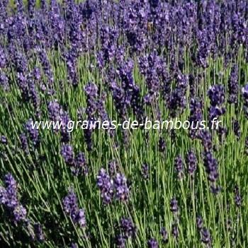 lavande-www-graines-de-bambous-fr-1.jpg