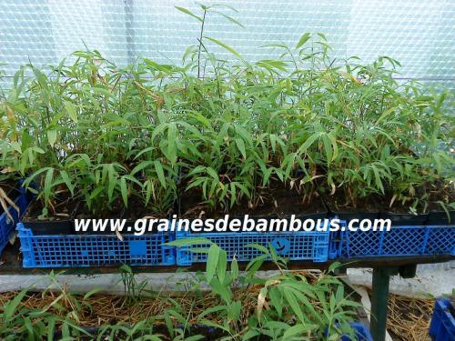 Les bambous fargesias gaolinensis poussent site 1 1