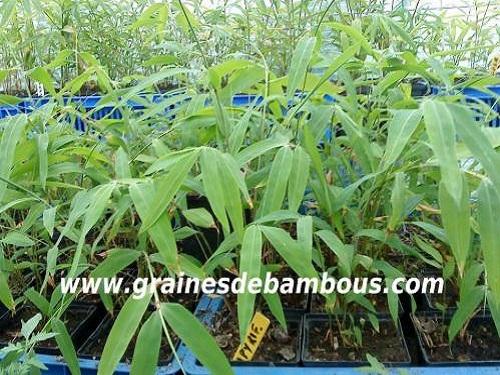 Les bambous fargesias papyrifera poussent site 222