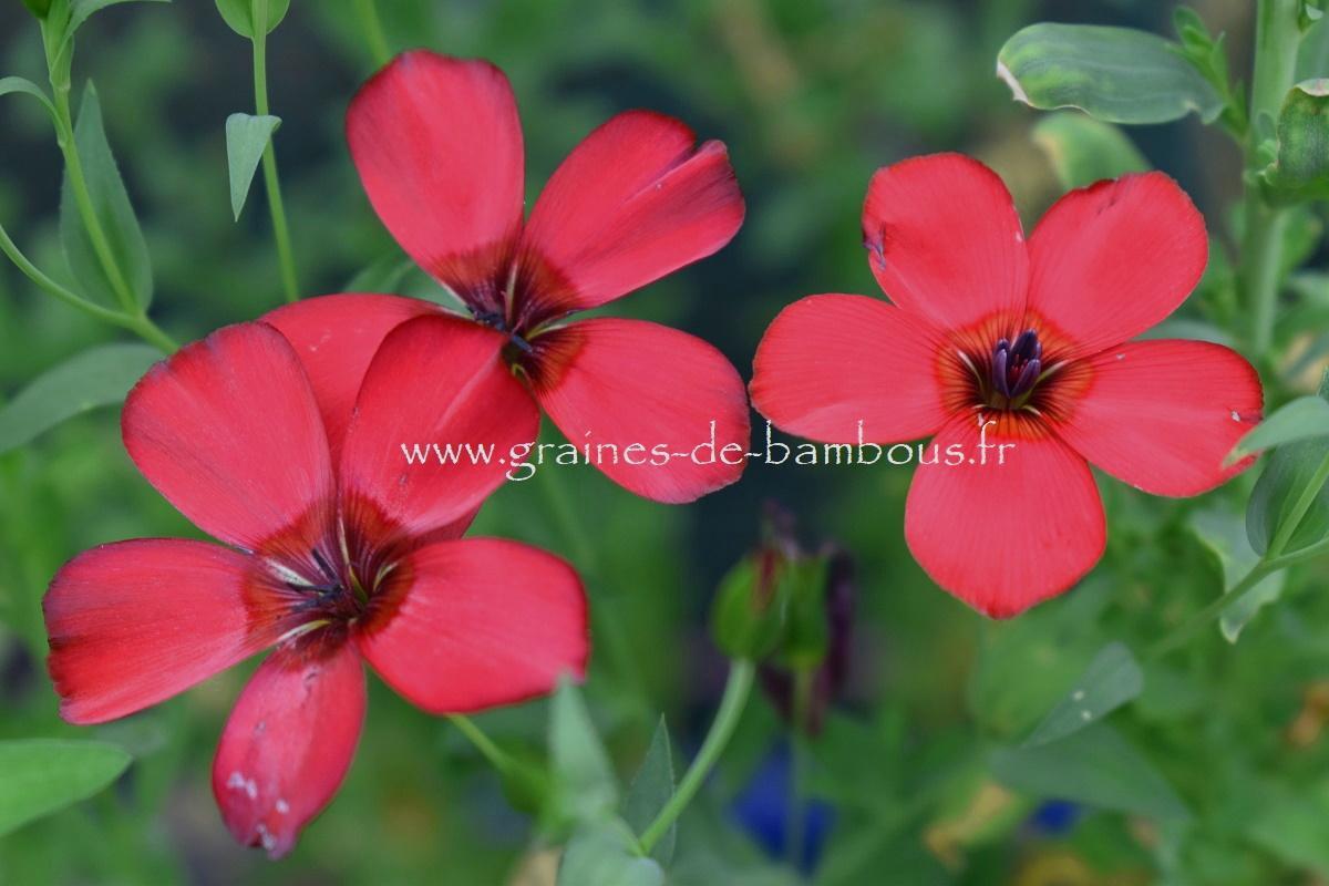 Lin rouge graines de bambous fr 5