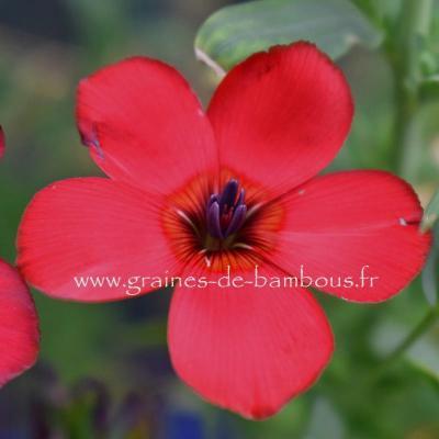 Lin Rouge Ecarlate ou Scarlet Flax réf.846