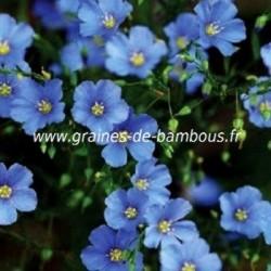Lin bleu vivace graines de bambous fr