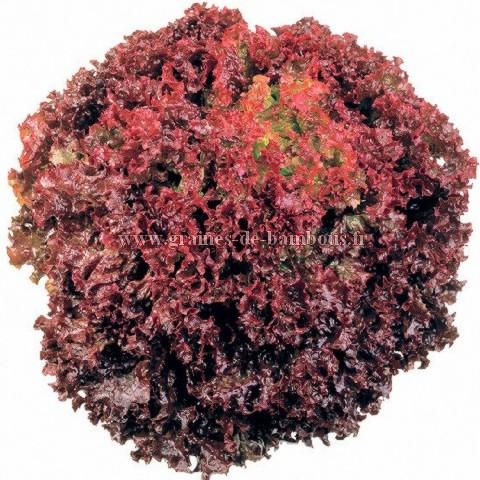 Lollo rossa graines de laitue
