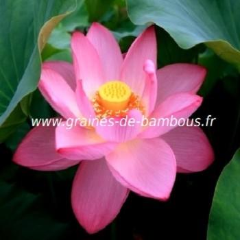 Lotus fleur nelumbo nucifera