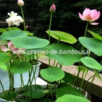Lotus graines de bambous fr
