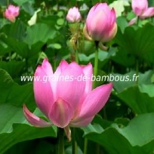 Lotus rose nelumbo nucifera
