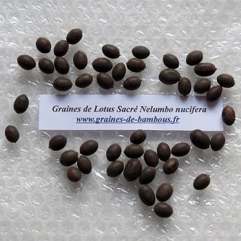 lotus sacr e ou d 39 orient nelumbo nucifera graines. Black Bedroom Furniture Sets. Home Design Ideas