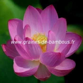 Lotus sacré nelumbo nucifera réf.687