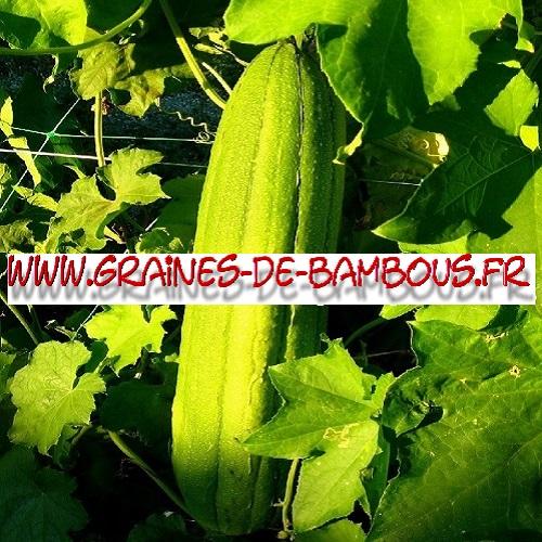 luffa-cylindrica-ou-aegyptiaca-1000-graines-www-graines-de-bambous-fr.jpg