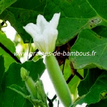 luffa-floraison-www-graines-de-bambous-fr-4.jpg