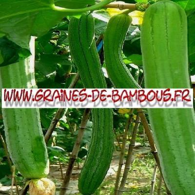 Luffa Courge végétale XT longue 1000 graines