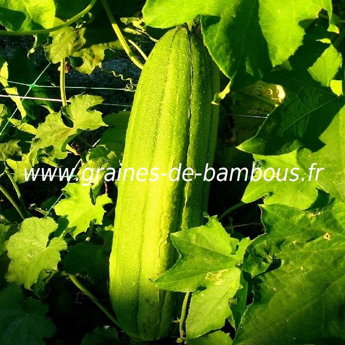 luffa-www-graines-de-bambous-fr-1-2.jpg