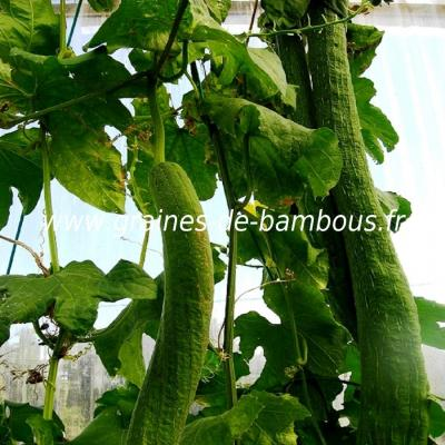 Luffa Courge végétale XT longue 100 graines réf.395a
