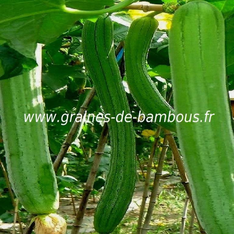 Luffa Courge végétale XT longue 10 graines réf.395